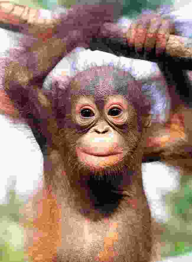 Baby orangutan, Borneo (Photo © 2018 Michael Poliza)