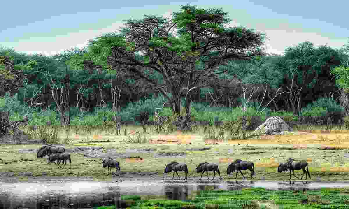 Wildebeest gather at The Hide waterhole (Mark Eveleigh)