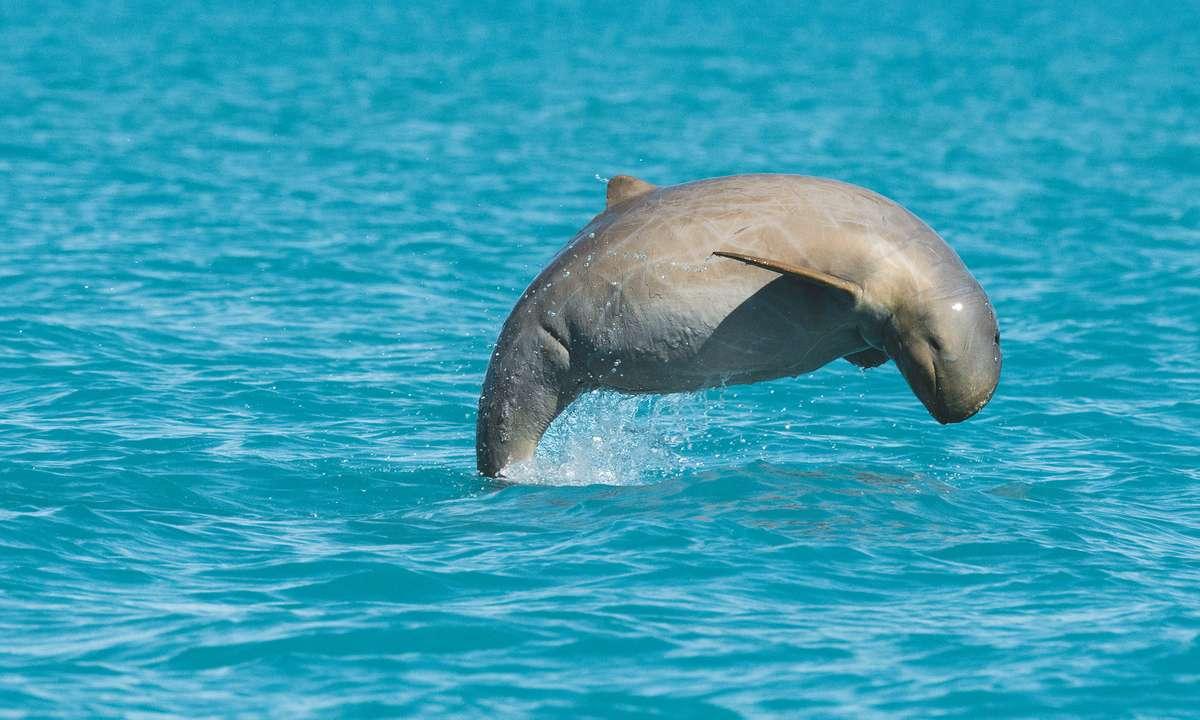 Snubfin dolphin jumping (Dan Beecham)