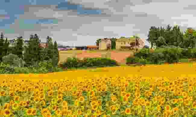 Sunflower fields in Tuscany (Shutterstock)