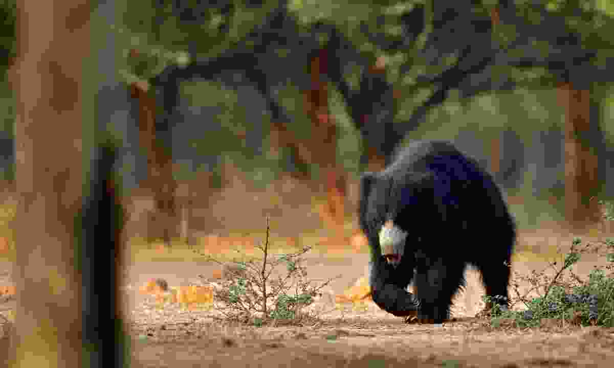 A sloth bear on the move (Dreamstime)