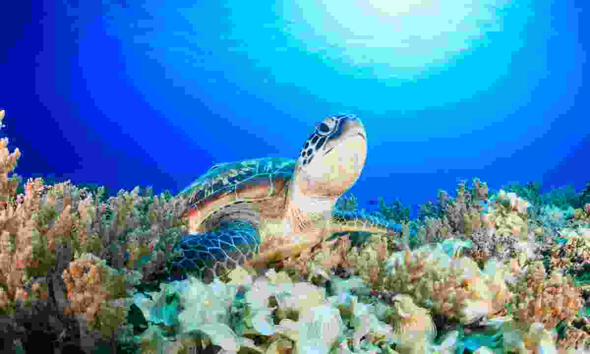 A green turtle in Borneo (Dreamstime)