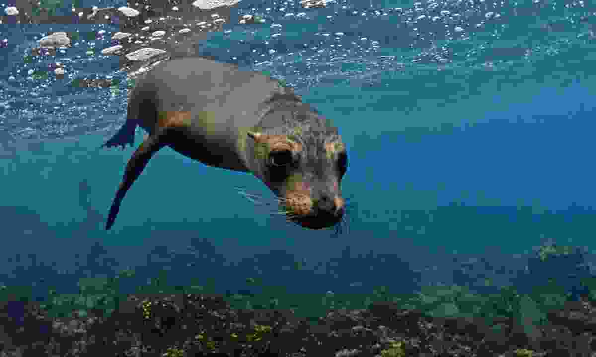 A sea lion in the Galapagos (Dreamstime)