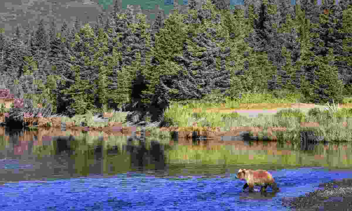 A bear scouting for salmon in Kenai Lake, Alaska (Dreamstime)