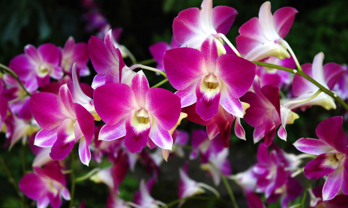 The worlds most beautiful botanical gardens wanderlust orchids at singapore botanical garden dreamstime izmirmasajfo
