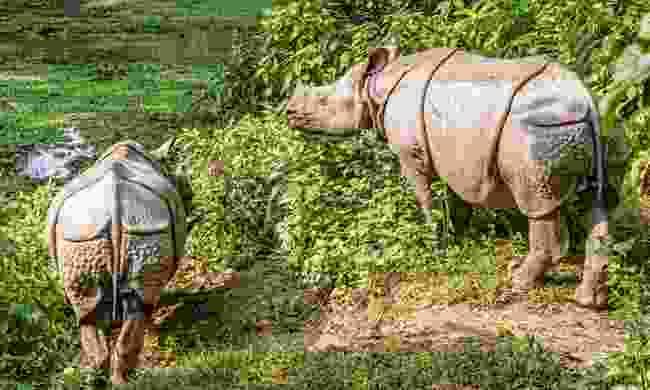 Rhinos in Chitwan National Park (Shutterstock)