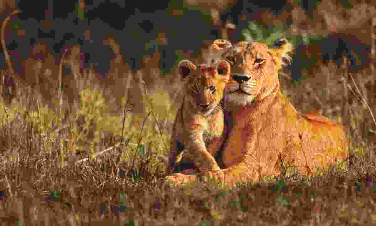 Lioness and cub (Shutterstock)