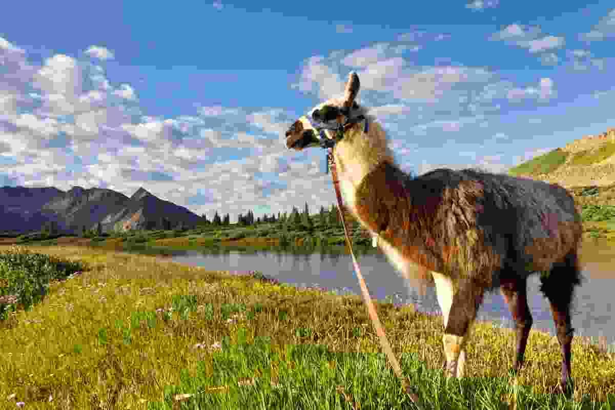 Llama walking (Dreamstime)