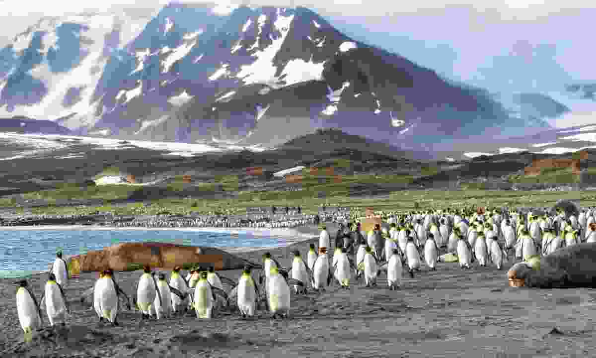 King penguins in St Andrews Bay, South Georgia (Dreamstime)