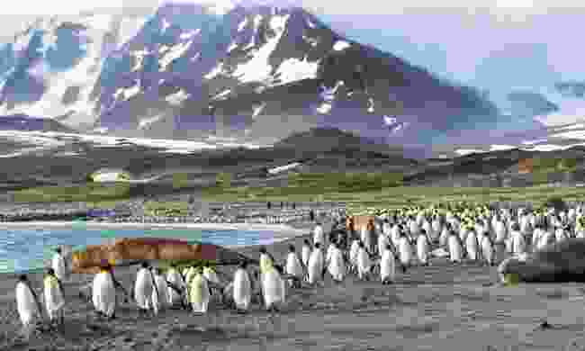 King penguins in St Andrews Bay, South Georgia (Dreamstime)