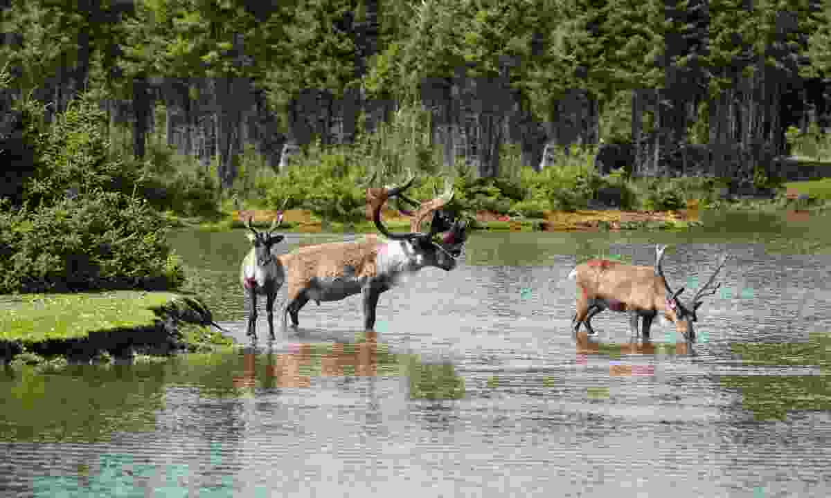 Woodland caribou in northern Canada (Dreamstime)