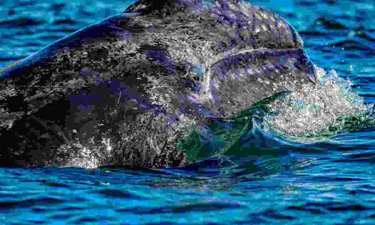 A grey whale calf in Baja (Dreamstime)