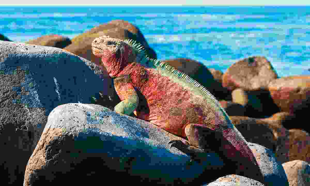 Iguana on rocks in the Galapagos (Dreamstime)