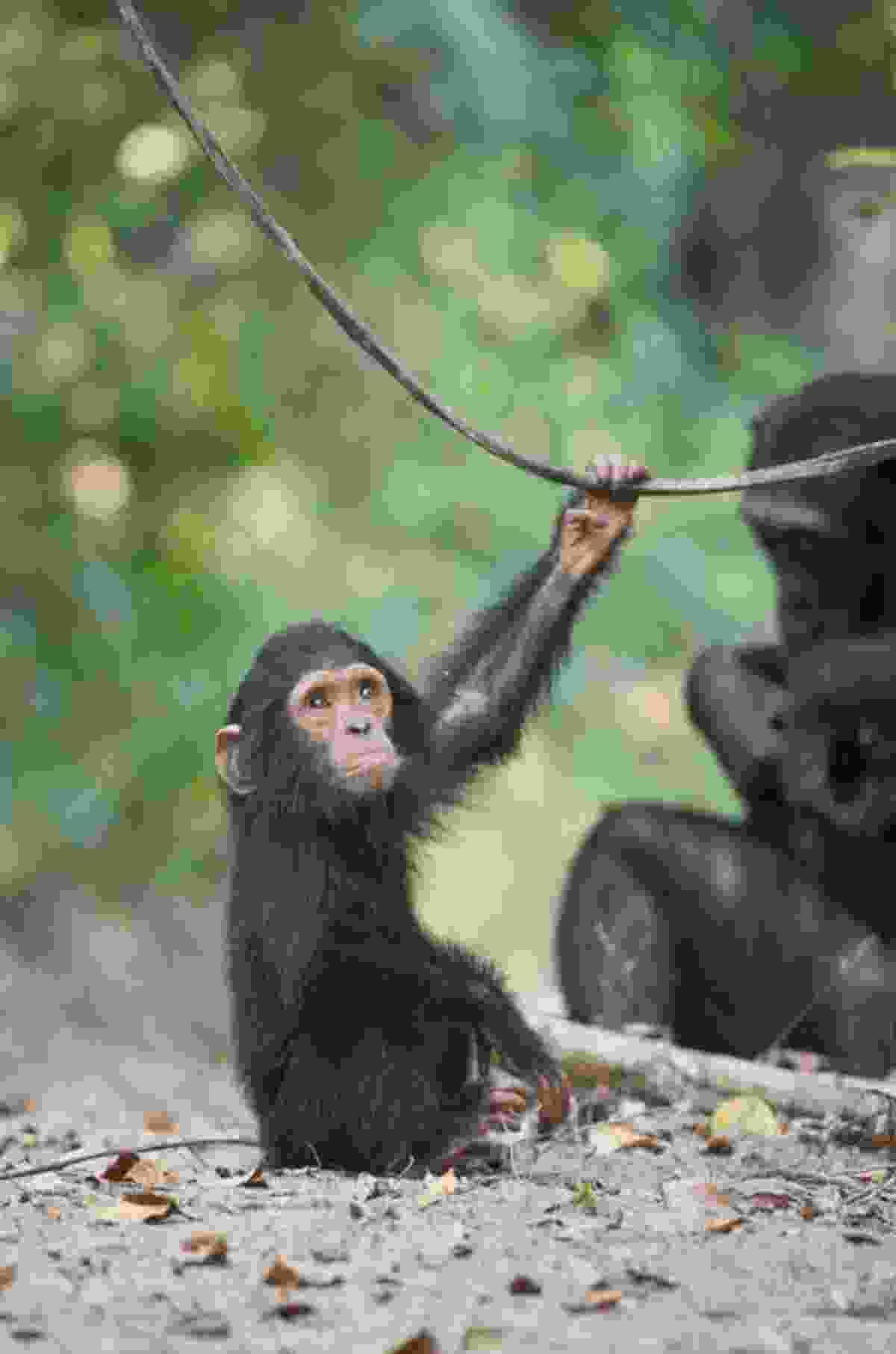 Chimpanzee, Mahale, Tanzania (Kate Malone)