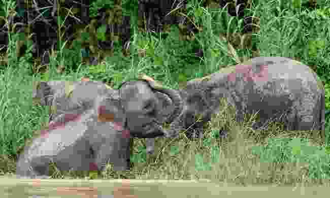 Pygmy elephants (Sabah Tourism Board)