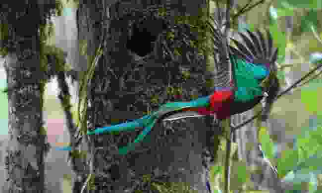 See colourful quetzals in Costa Rica