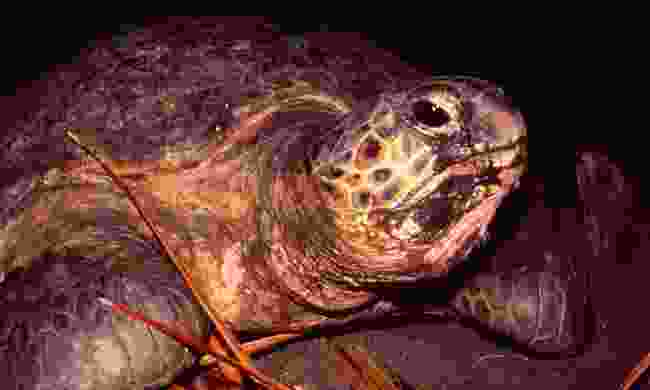A turtle on Moheli Island (Shutterstock)
