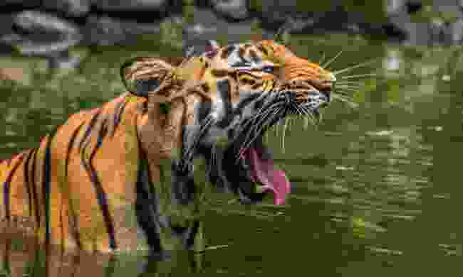 Bengal tiger yawns submerged in the water of a marshy swamps at Sunderban National Park (Shutterstock)