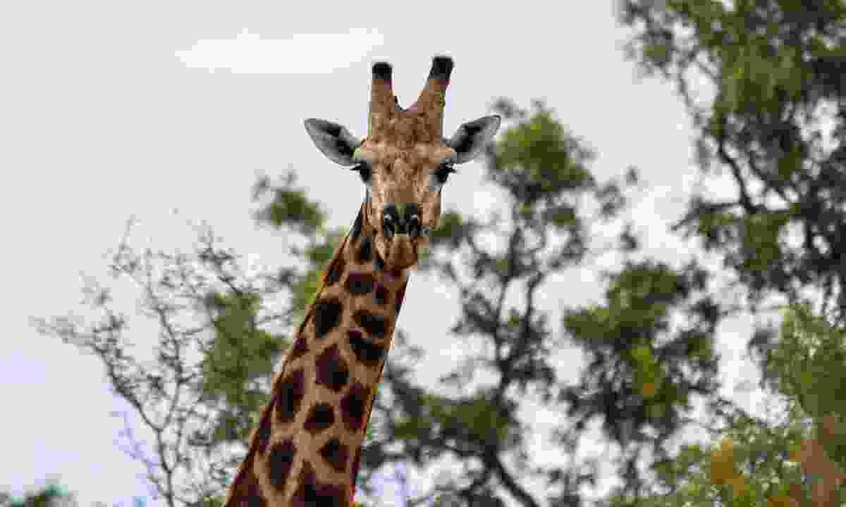 Giraffe in Kruger National Park (Tim Chan, G Adventures)