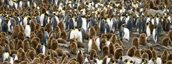King penguins in South Georgia (Shutterstock)