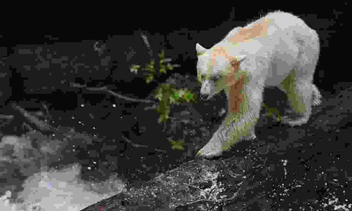 Spot spirit bears in Great Bear Rainforest (Spirit Bear Lodge)