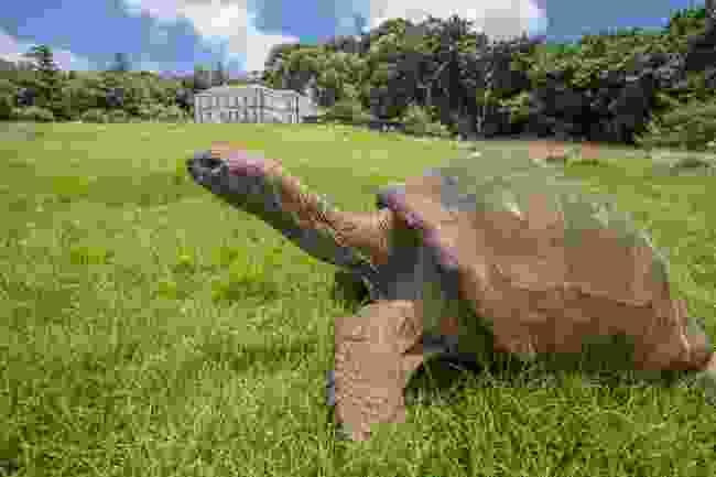 A giant tortoise on St Helena (Shutterstock)