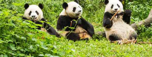 Research Base of Giant Panda Breeding in Chengdu, China (Shutterstock)