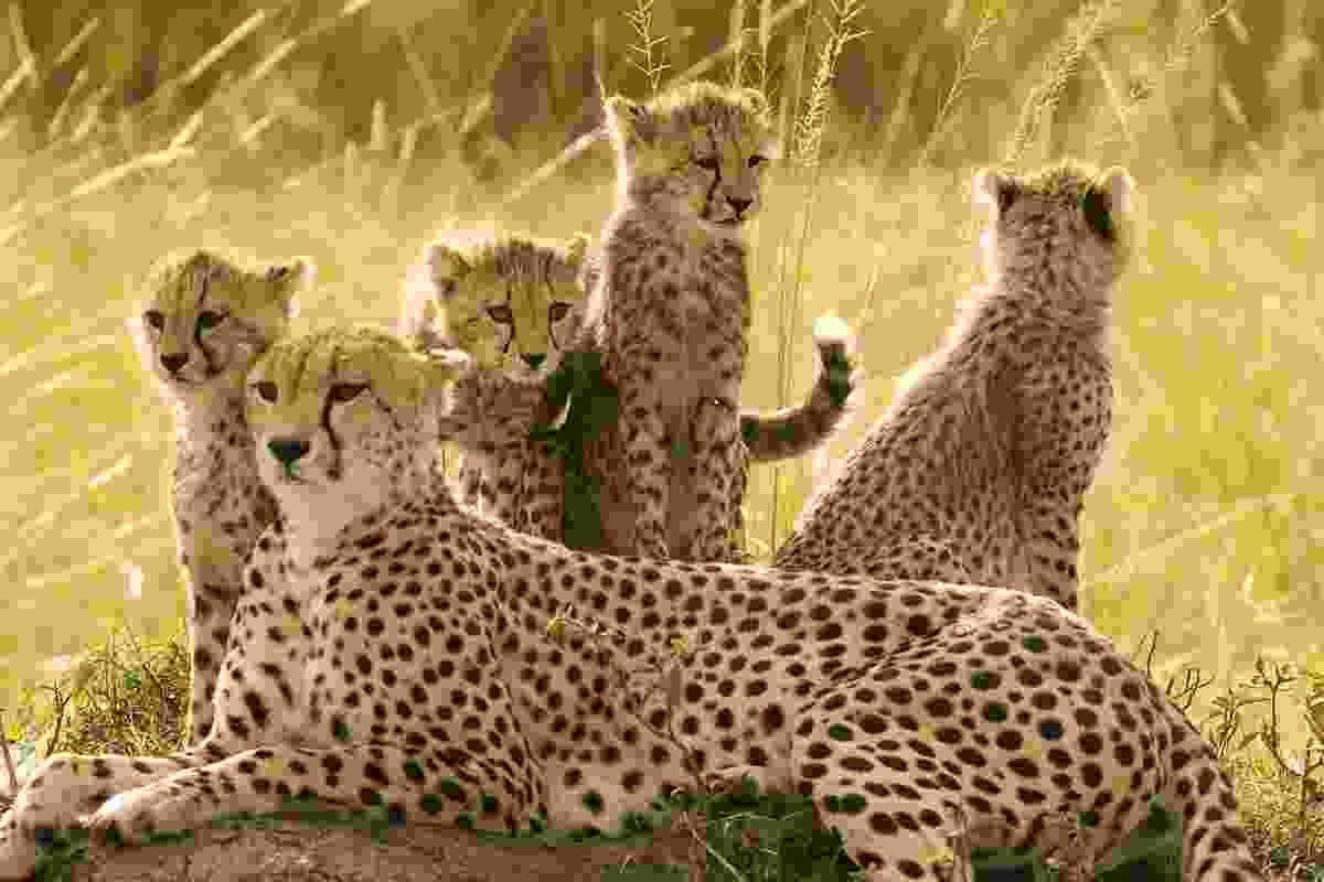 Cheetah family, Maasai Mara, Kenya (Photo © 2018 Michael Poliza)