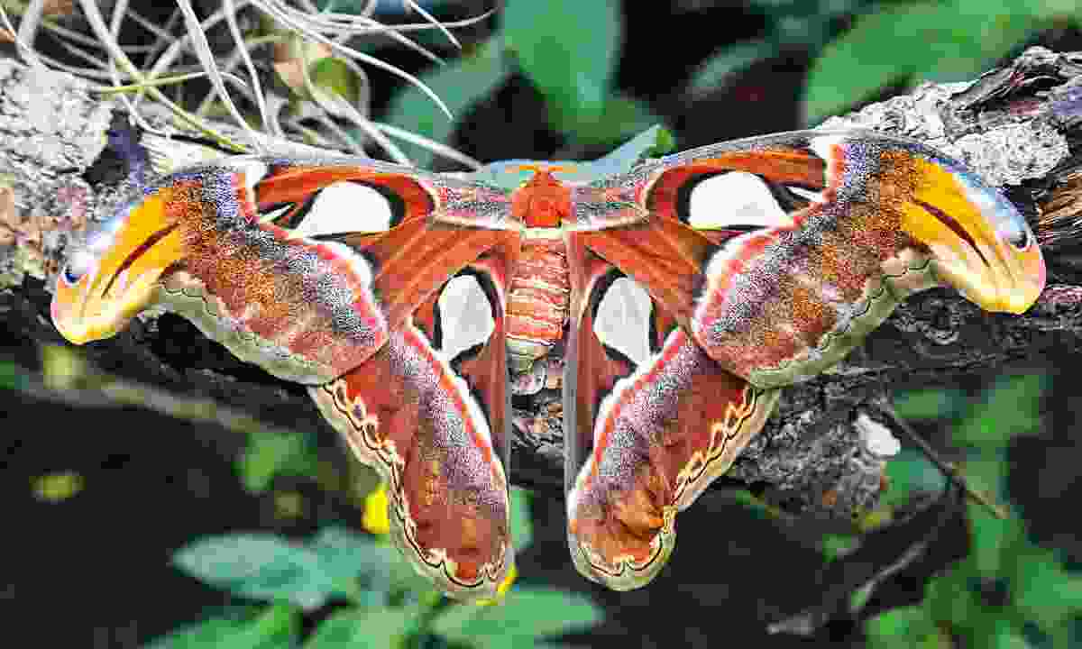 A 'snake's head' moth, so named for the pattern on its wings (Graeme Green)