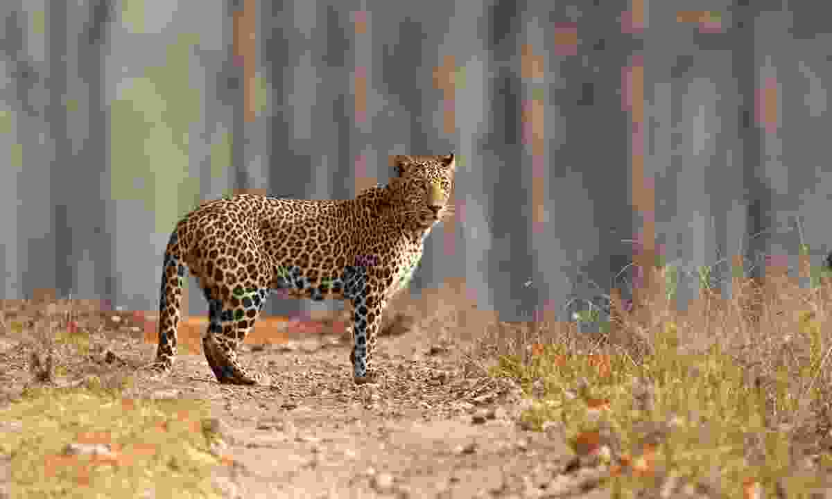 A male leopard in the dry forests of India (Dreamstime)