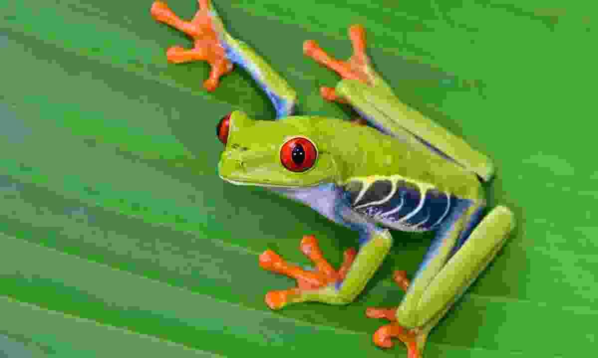 Red-eyed tree frog (Dreamstime)