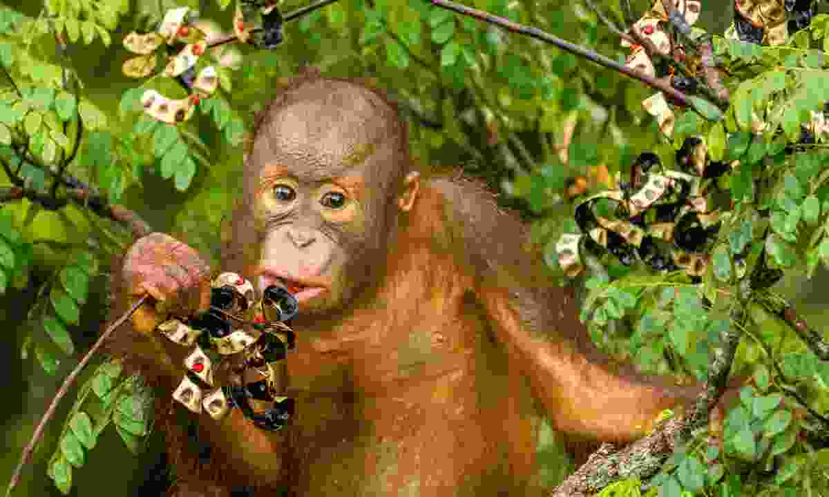 Baby orang-utan eating berries (Dreamstime)