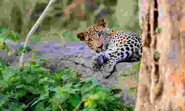 Leopard in the wild in Sri Lanka (Shutterstock)