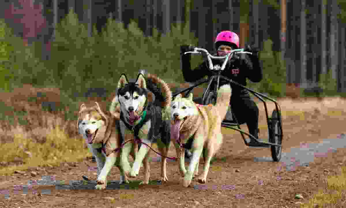 Dog-sledding on wheels (Dreamstime)