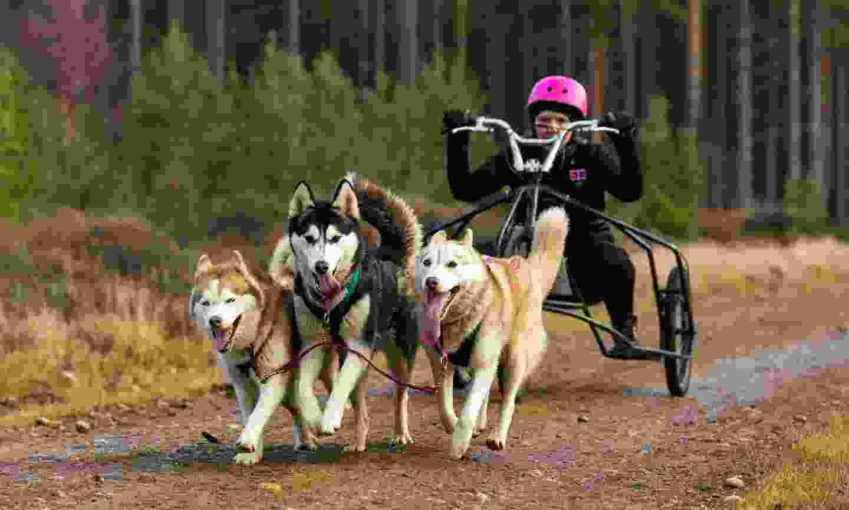 Dog-sledding on wheels (Dreamstime)