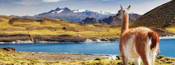 Alpaca in Torres del Paine National Park (Dreamstime)