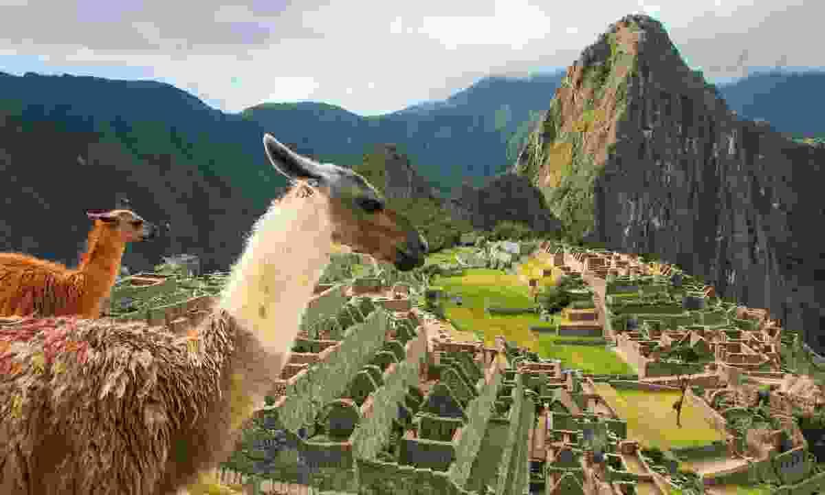 Llamas at Machu Picchu (Dreamstime)