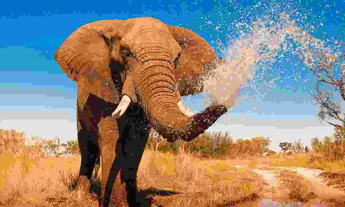 African Elephant (Shutterstock)