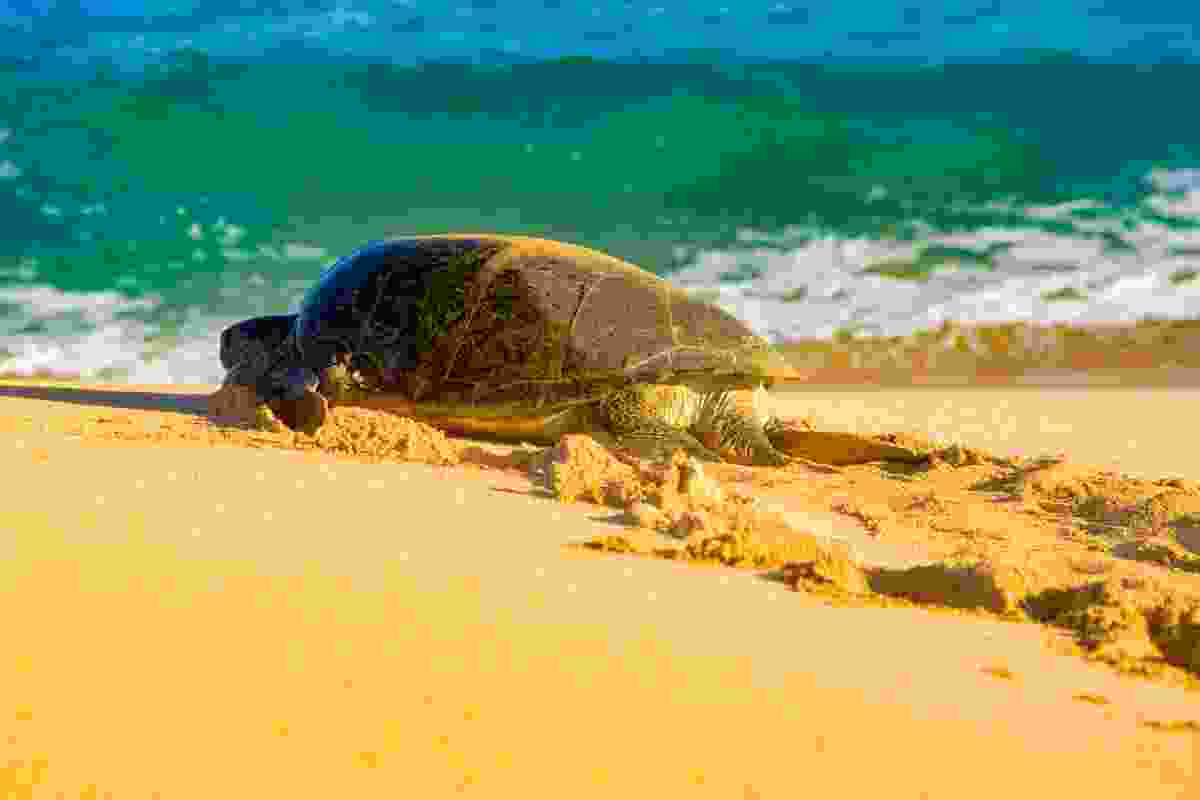 Green turtle on the shores of Ascension Island (Shutterstock)