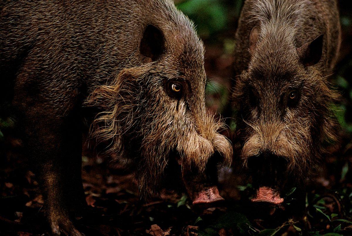 Bearded pigs in the rainforests of Sarawak, Borneo (Mattias Klum)