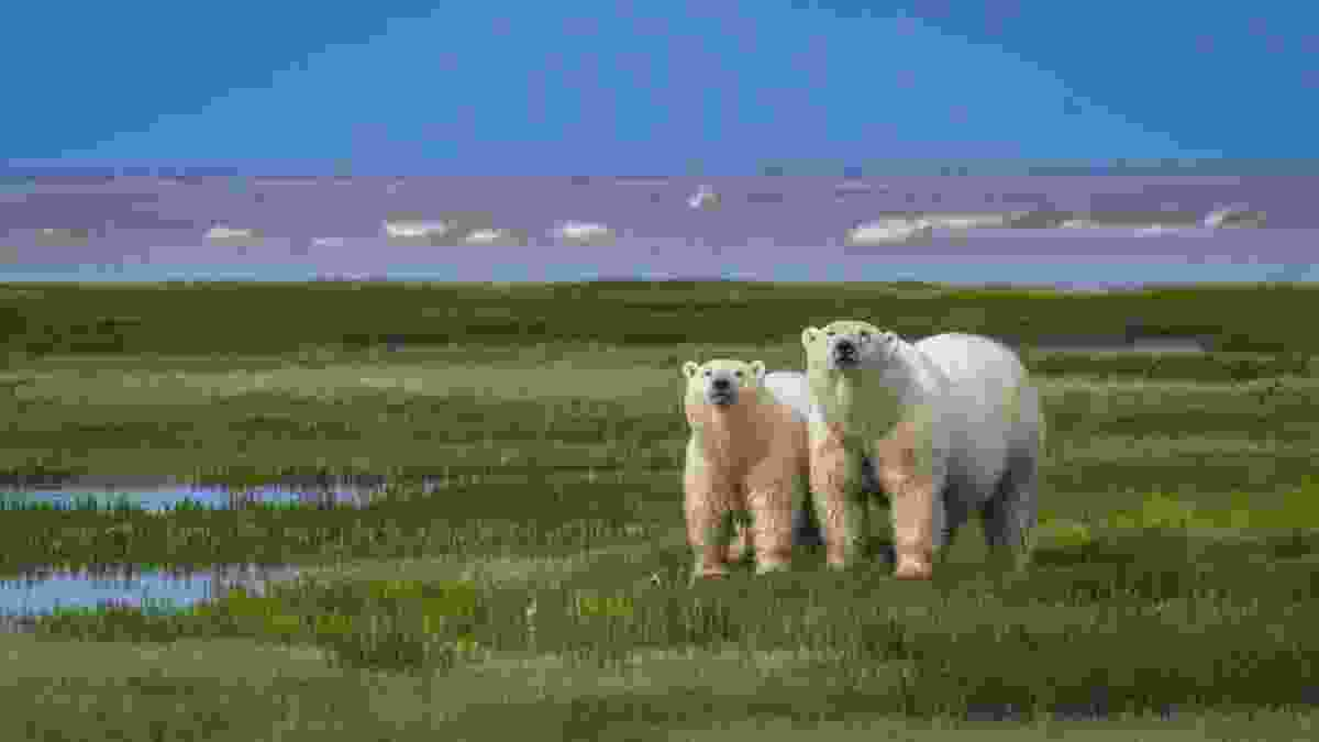 Polar bears in Manitoba (Dave Bouskill, The Planet D)