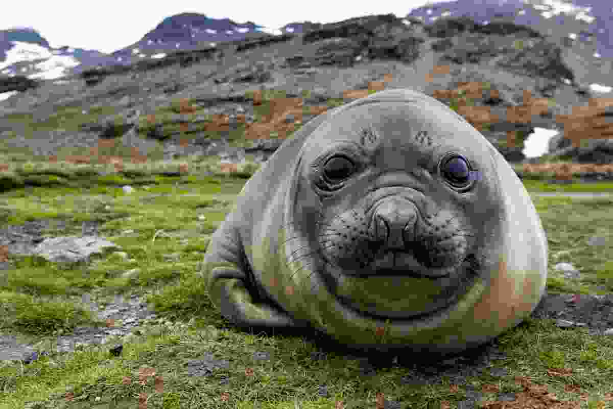 An elephant seal on South Georgia's shores (Shutterstock)