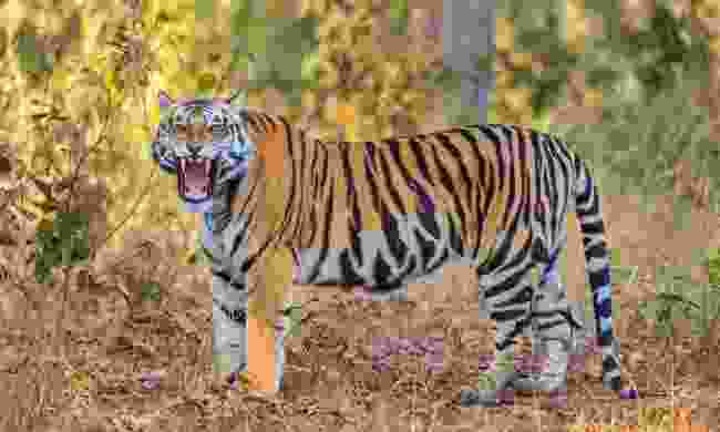 A roaring male tiger in Kanha National Park (Shutterstock)