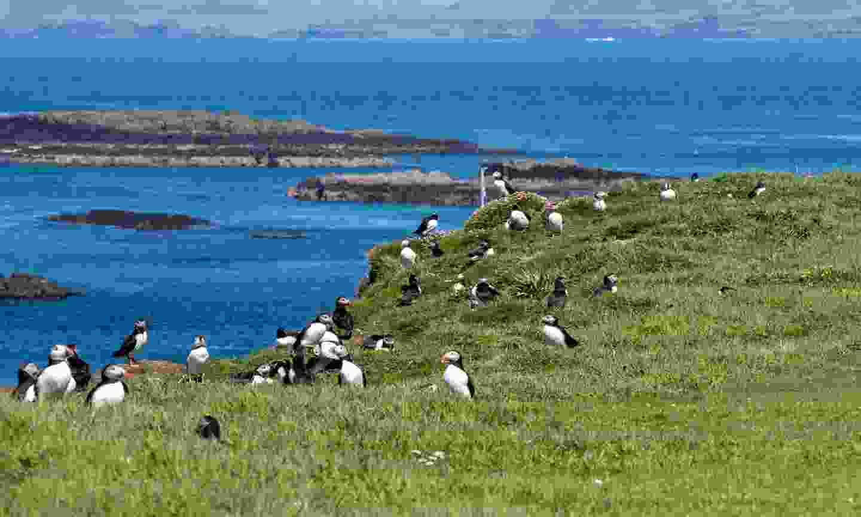 Puffins galore on the Treshnish Isles (Shutterstock)