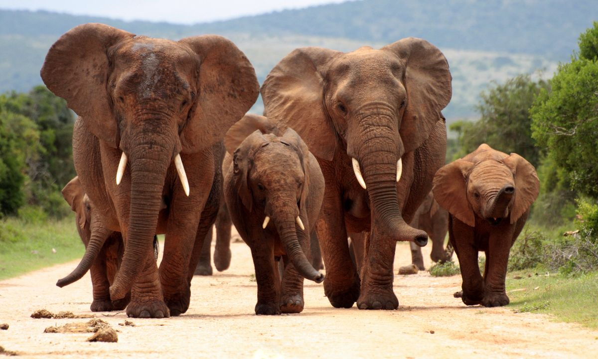 Dominating elephant – one of the big five roam parks across South Africa (Shutterstock)