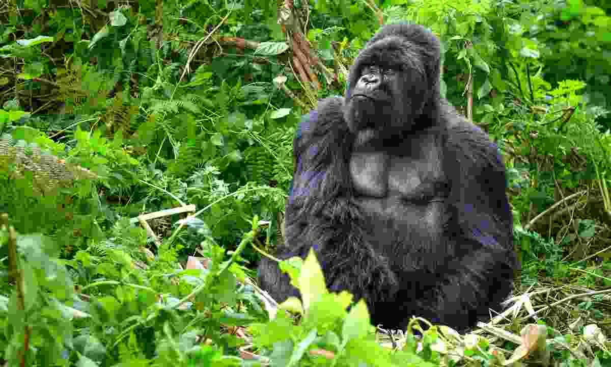 A mountain gorilla in Rwanda (Shutterstock)