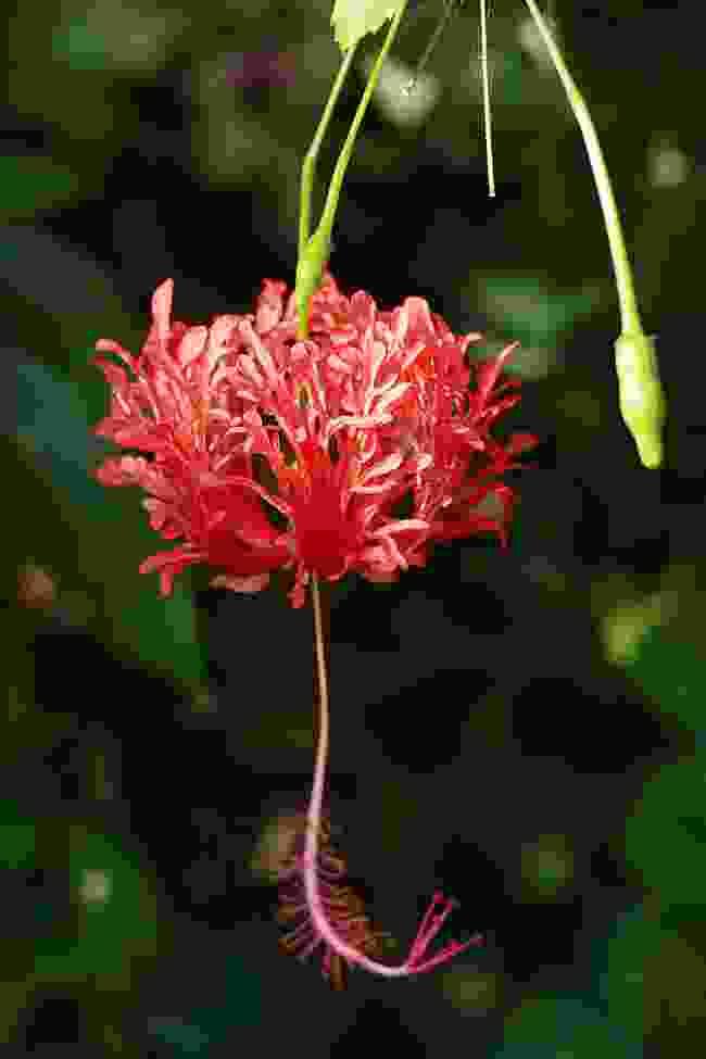 A hibiscus (Sarah Gilbert)