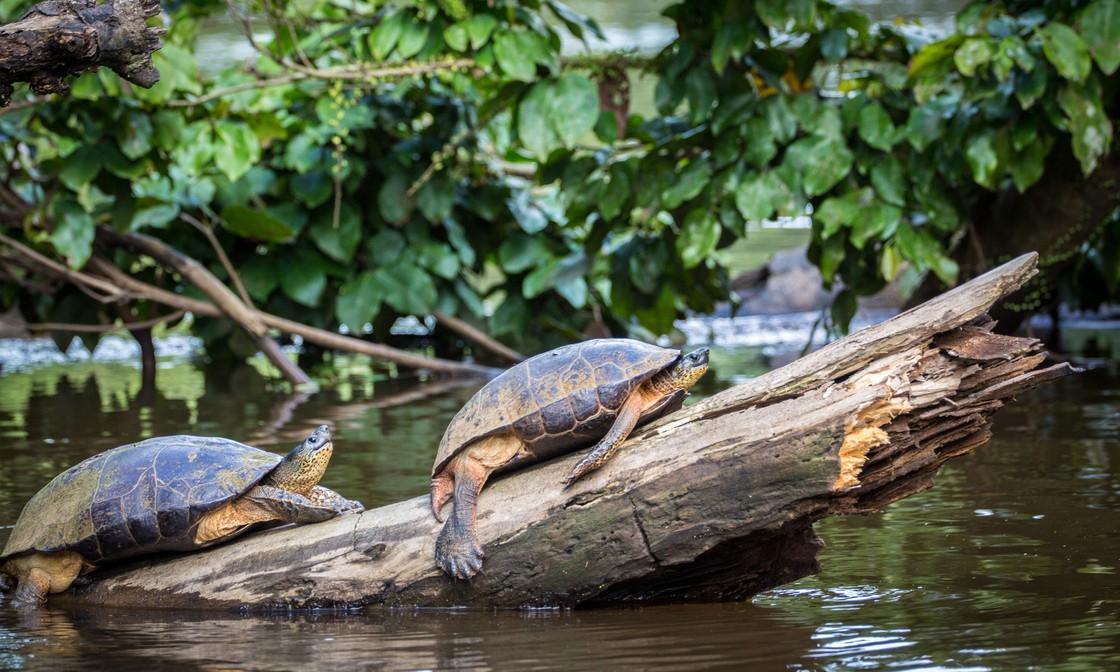 Many Hurdles for Thailands Tortured Turtles