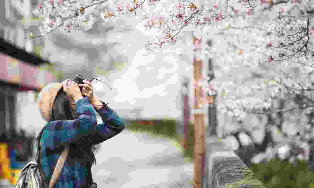 Photographing the cherry blossom (Dreamstime)