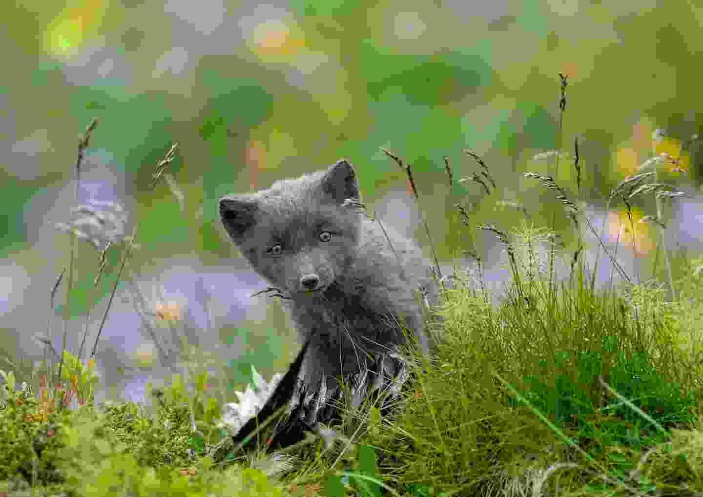 Arctic fox (Giovanni Frescura)